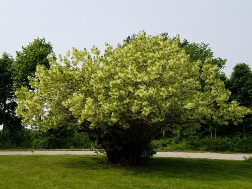 fringe tree-20190601